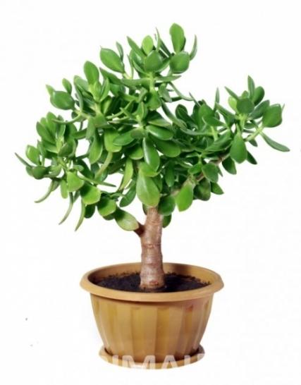 Arbre du bonheur plante 28 images arbre du bonheur plante plantes porte bonheur populaires - Plante d interieur porte bonheur ...